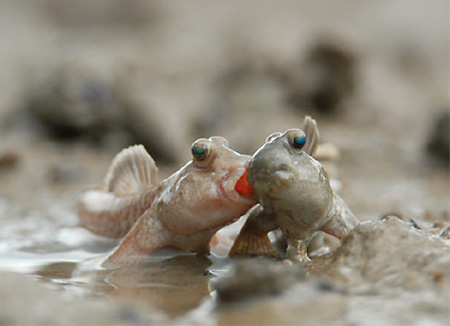 http://www.mudskipper.it/Reprod_file/Ps_modIkebe23.jpg