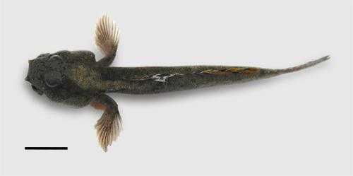 barred mudskipper, silver-lined mudskipper