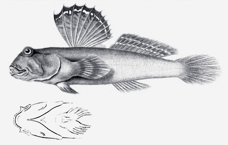 The mudskipper  Periophthalmus barbarus